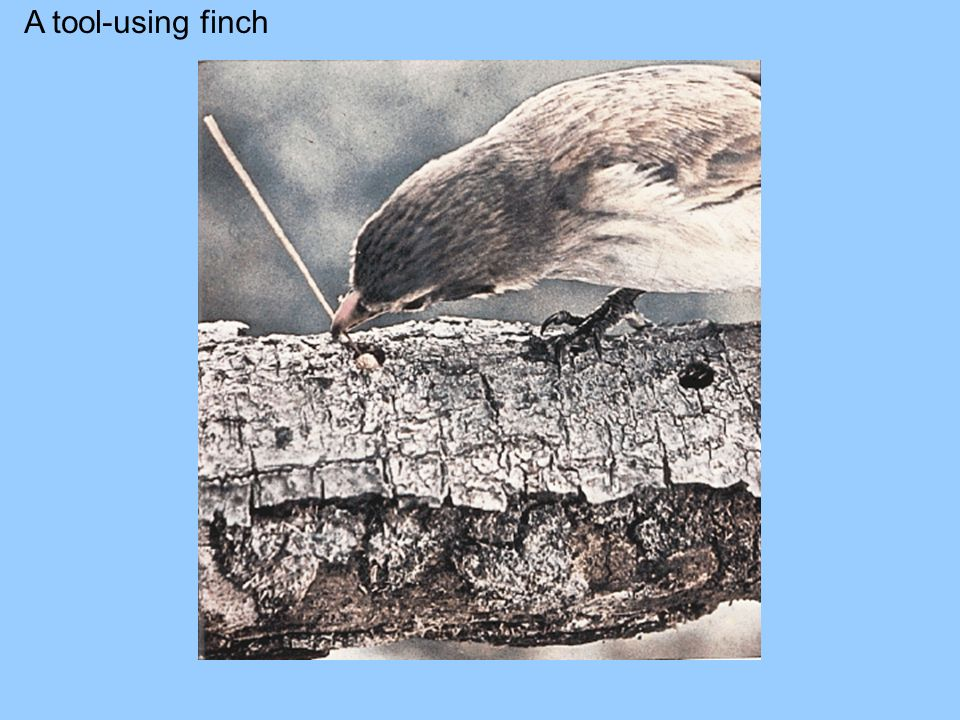 A tool-using finch