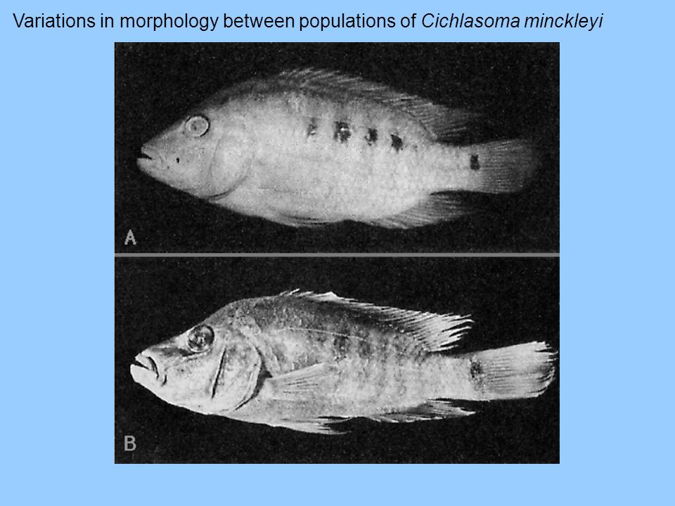 Variations in morphology between populations of Cichlasoma minckleyi