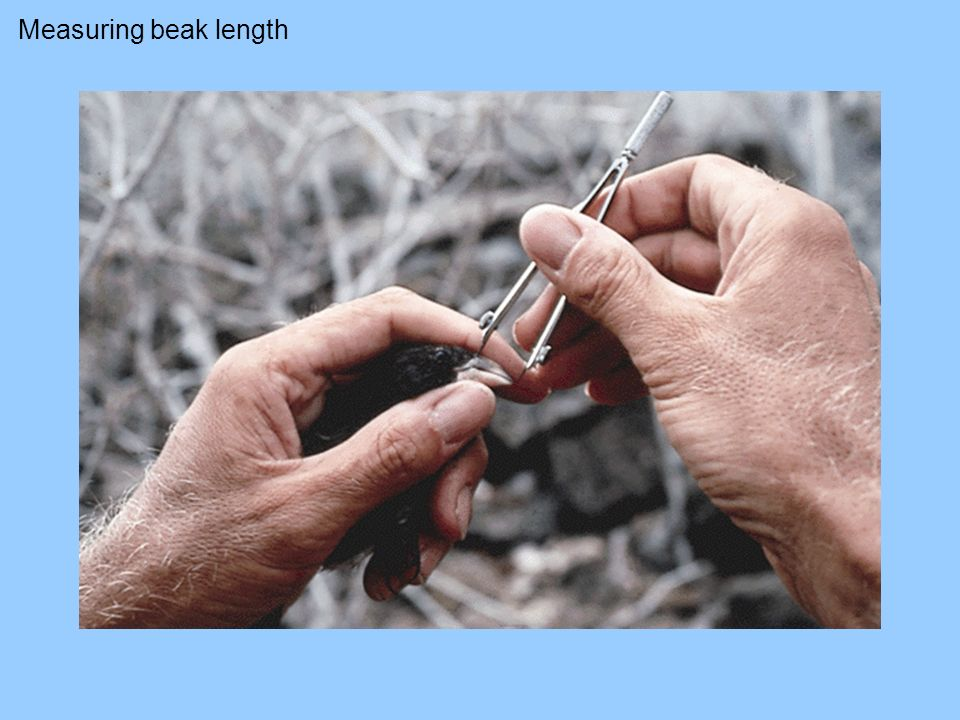 Measuring beak length