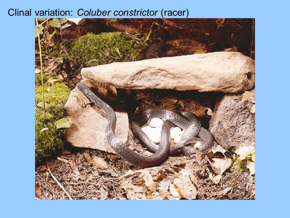 Clinal variation: Coluber constrictor (racer)