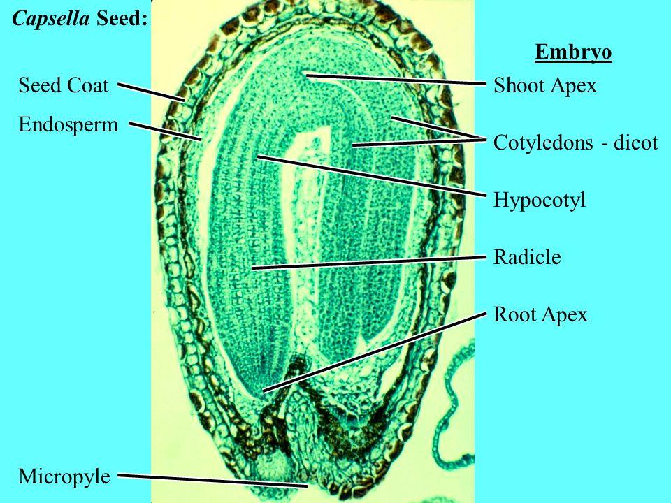 Capsella Seed: Embryo. Seed Coat. Shoot Apex. Endosperm. Cotyledons - dicot. Hypocotyl. Radicle.