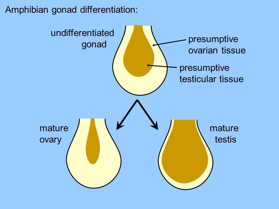 Amphibian gonad differentiation: