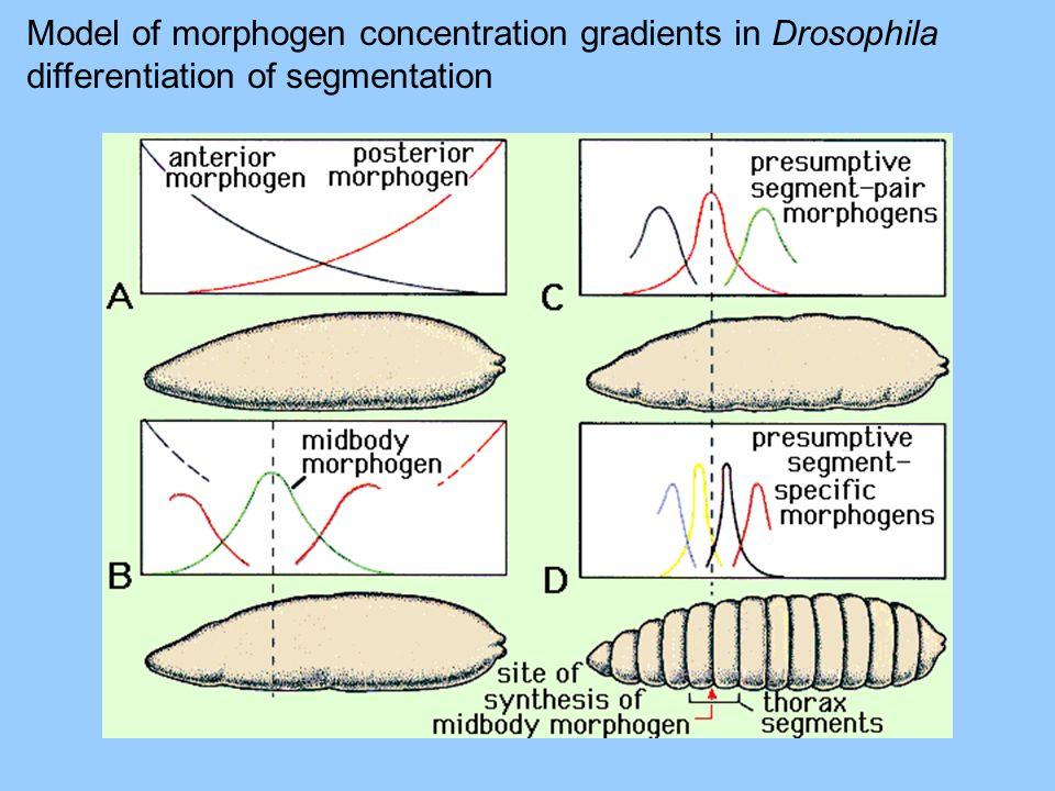 Model of morphogen concentration gradients in Drosophila differentiation of segmentation