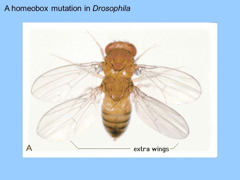 A homeobox mutation in Drosophila