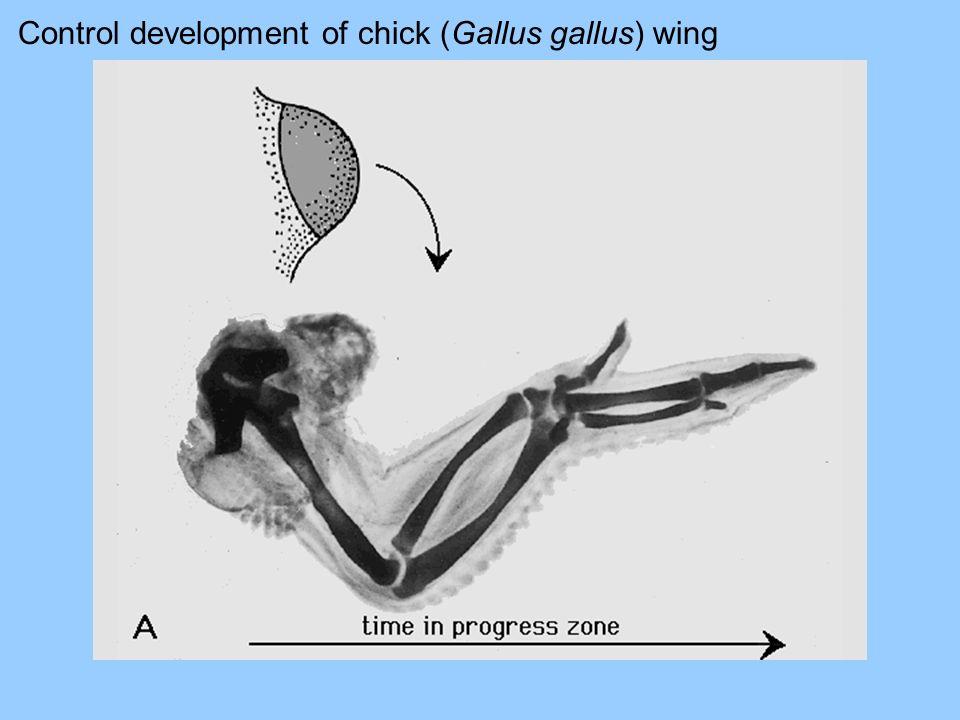 Control development of chick (Gallus gallus) wing