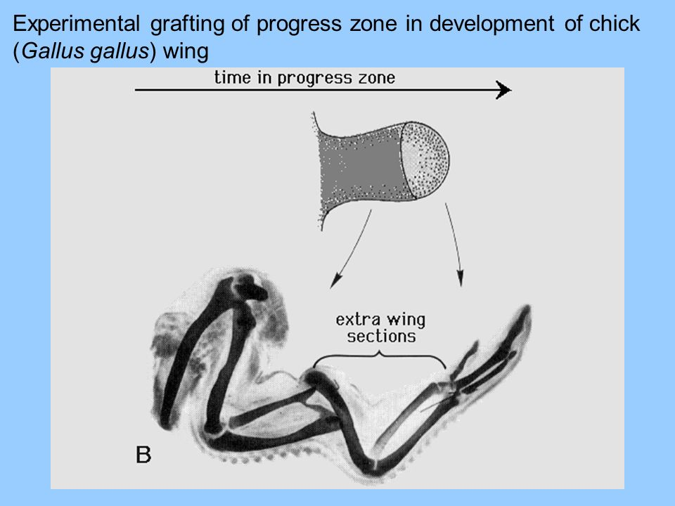 Experimental grafting of progress zone in development of chick (Gallus gallus) wing