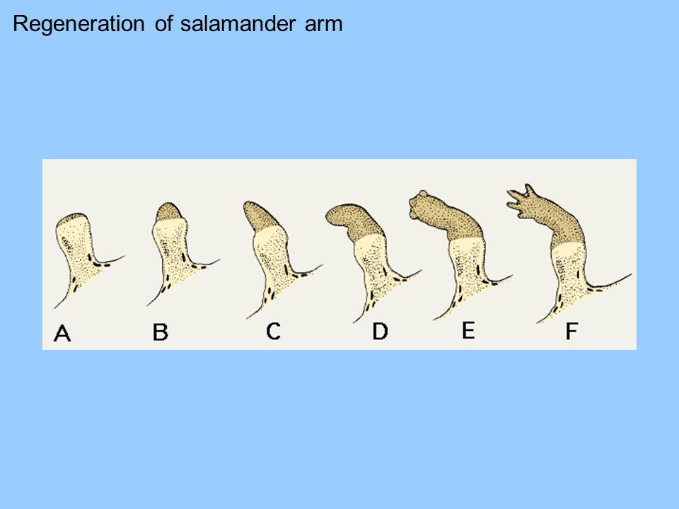 Regeneration of salamander arm