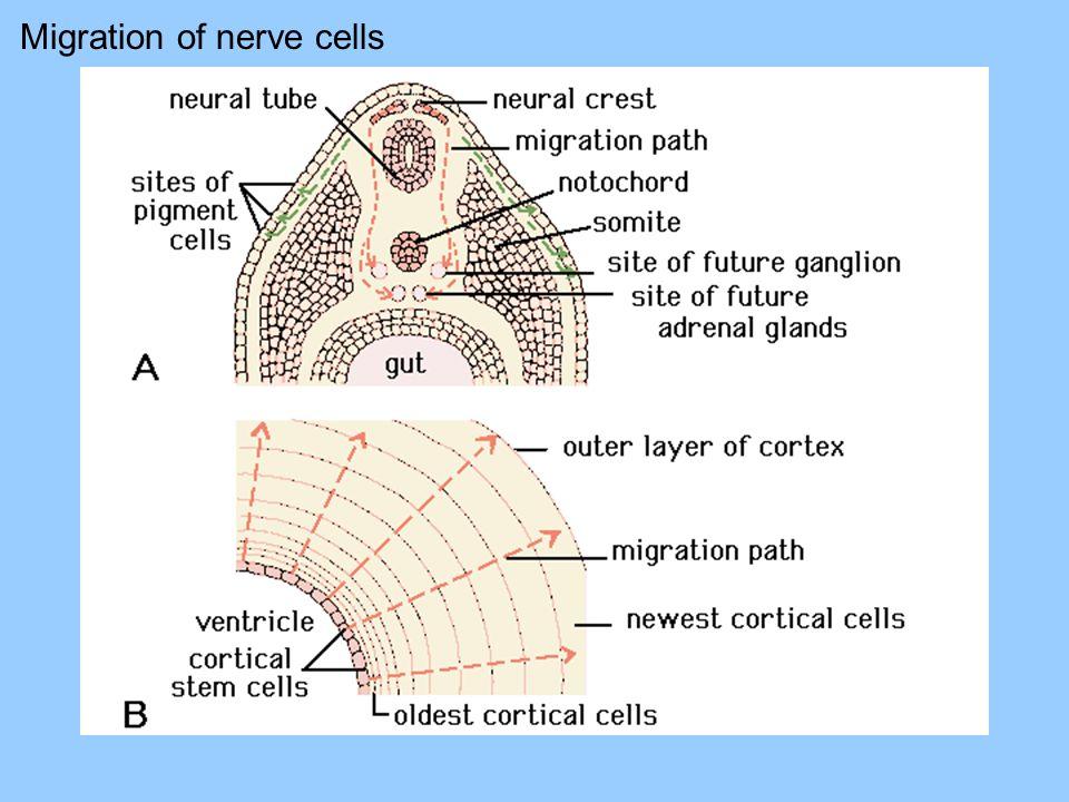 Migration of nerve cells