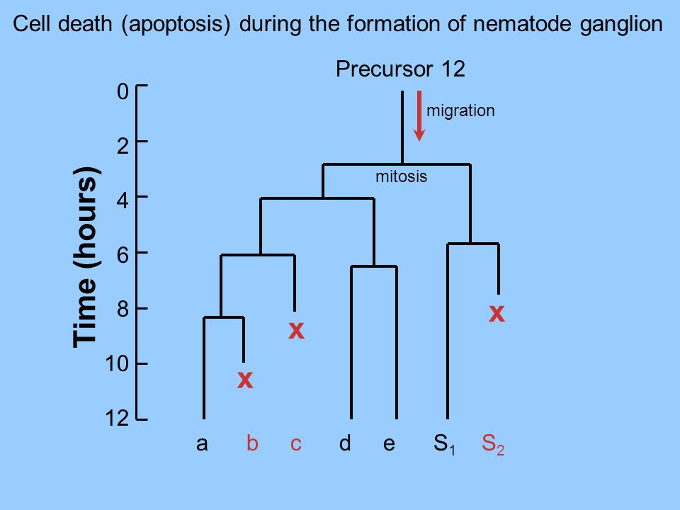 Cell death (apoptosis) during the formation of nematode ganglion