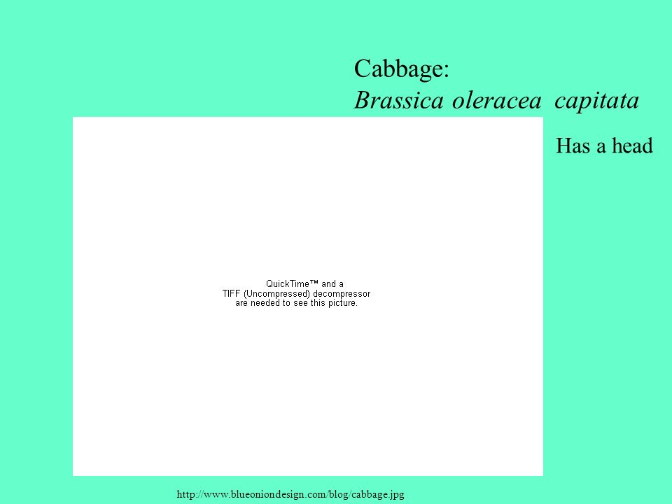 Cabbage: Brassica oleracea capitata Has a head