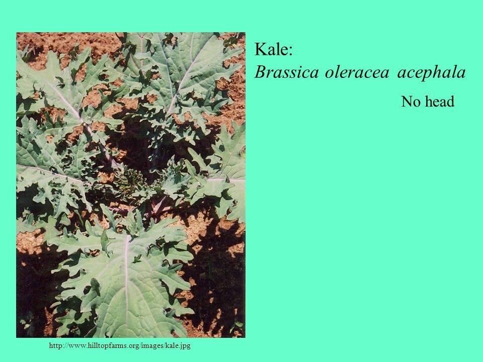 Kale: Brassica oleracea acephala No head