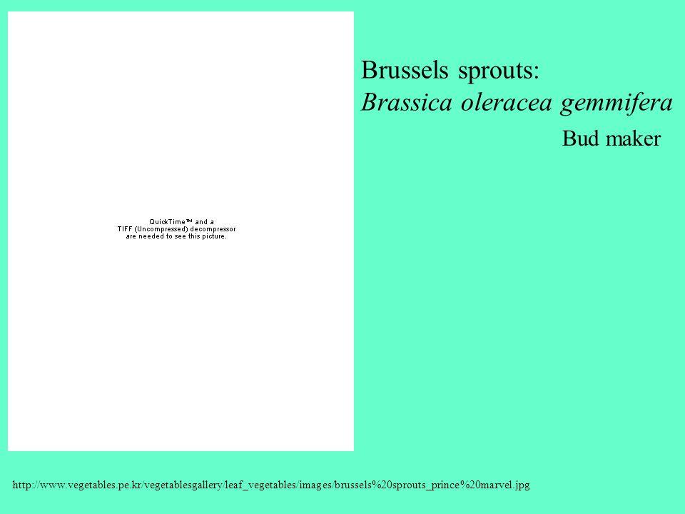 Brussels sprouts: Brassica oleracea gemmifera Bud maker