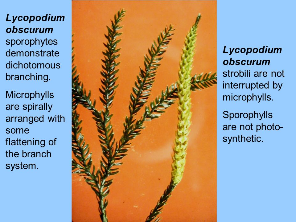 Lycopodium obscurum sporophytes demonstrate dichotomous branching.