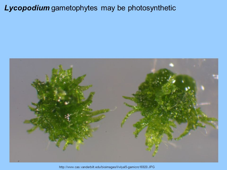 Lycopodium gametophytes may be photosynthetic