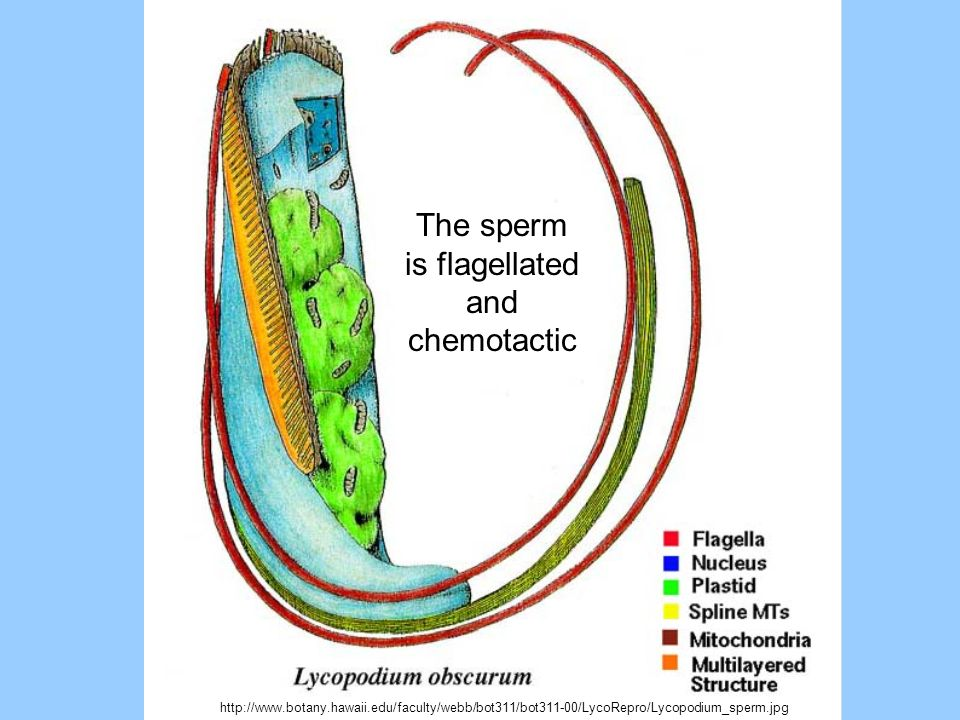 The sperm is flagellated and chemotactic