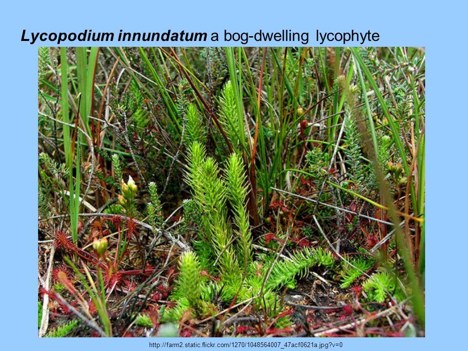 Lycopodium innundatum a bog-dwelling lycophyte