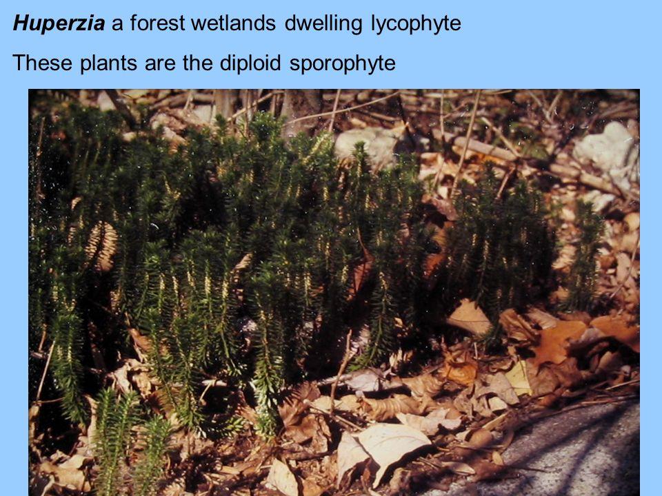 Huperzia a forest wetlands dwelling lycophyte
