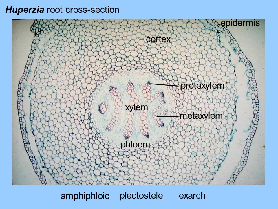 Huperzia root cross-section