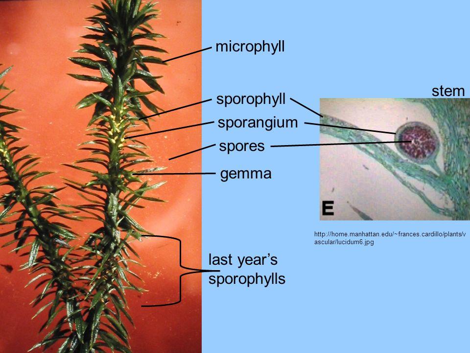 last year's sporophylls