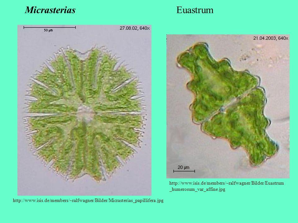 Micrasterias Euastrum