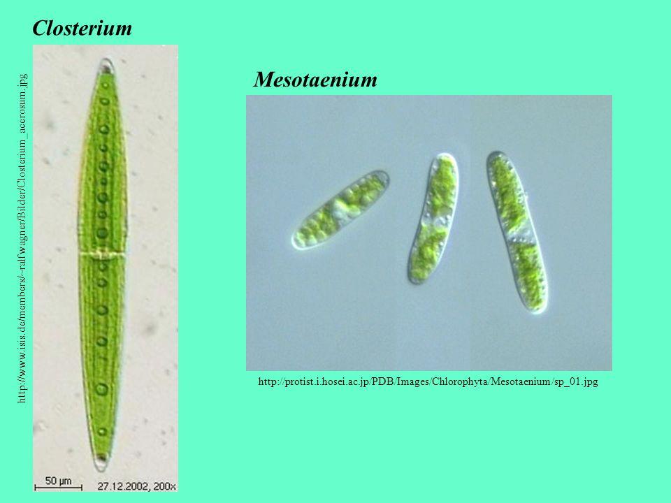 Closterium Mesotaenium