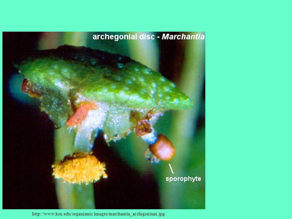 http://www.ksu.edu/organismic/images/marchantia_archigonium.jpg