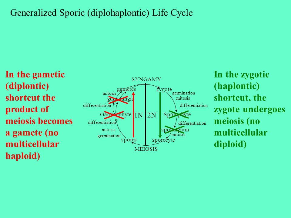 Generalized Sporic (diplohaplontic) Life Cycle