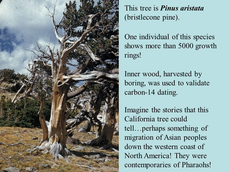 This tree is Pinus aristata (bristlecone pine).