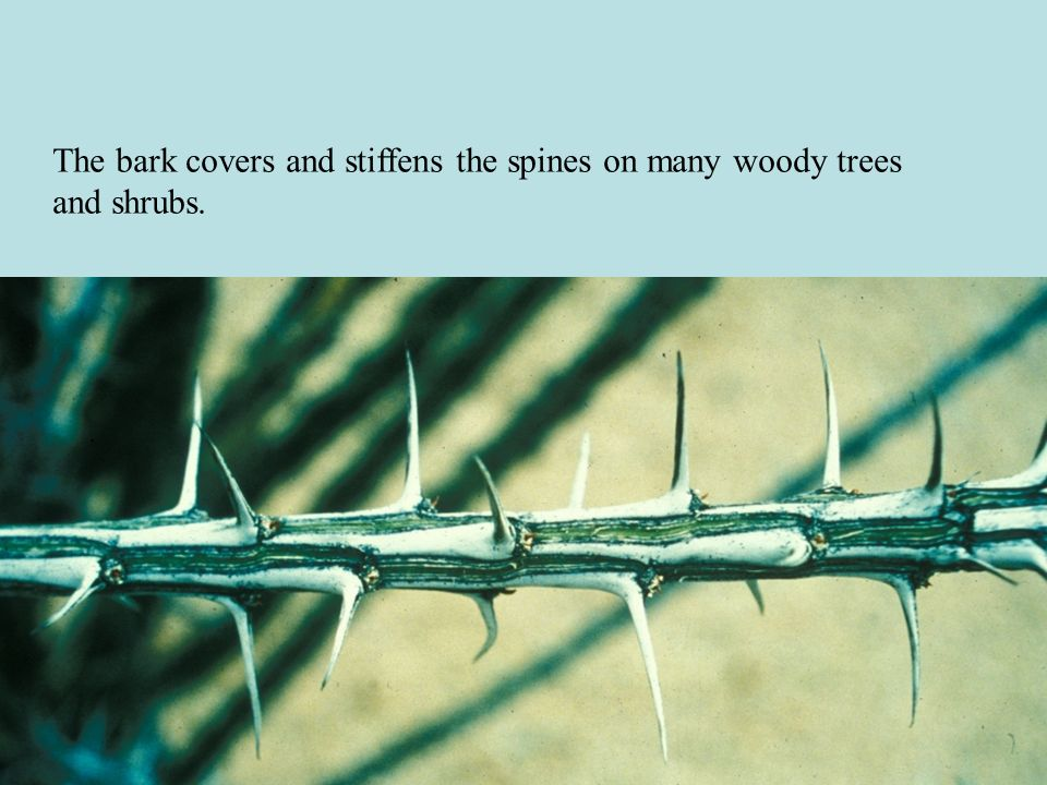 The bark covers and stiffens the spines on many woody trees and shrubs.