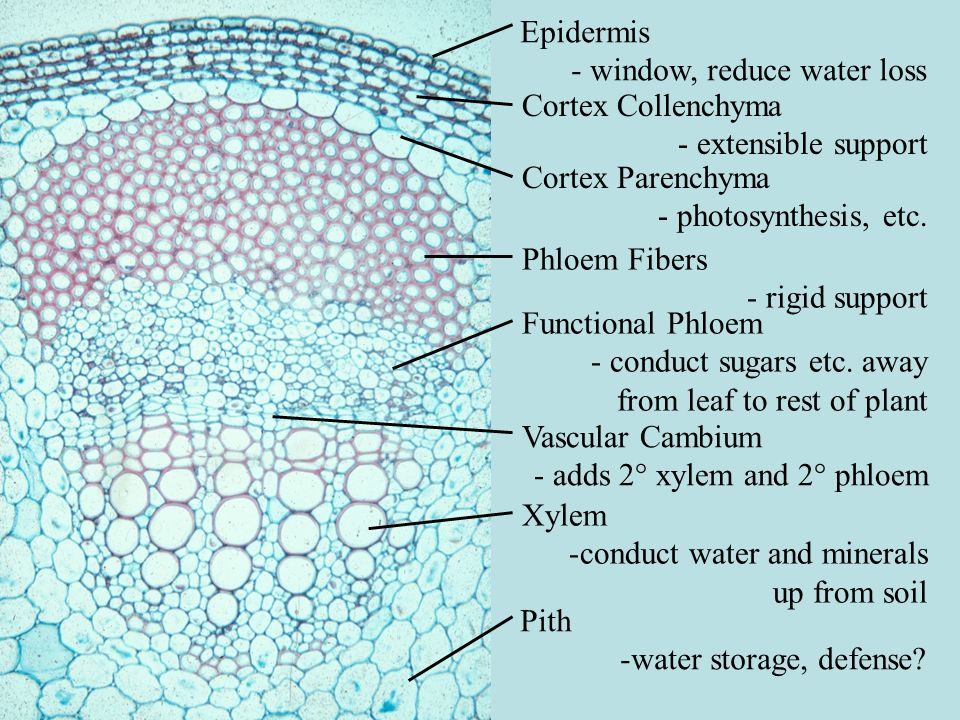 Epidermis - window, reduce water loss. Cortex Collenchyma. - extensible support. Cortex Parenchyma.