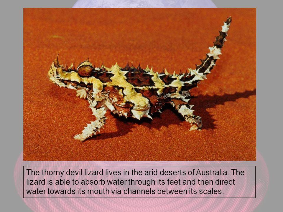 The thorny devil lizard lives in the arid deserts of Australia