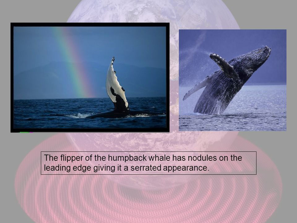 The flipper of the humpback whale has nodules on the leading edge giving it a serrated appearance.