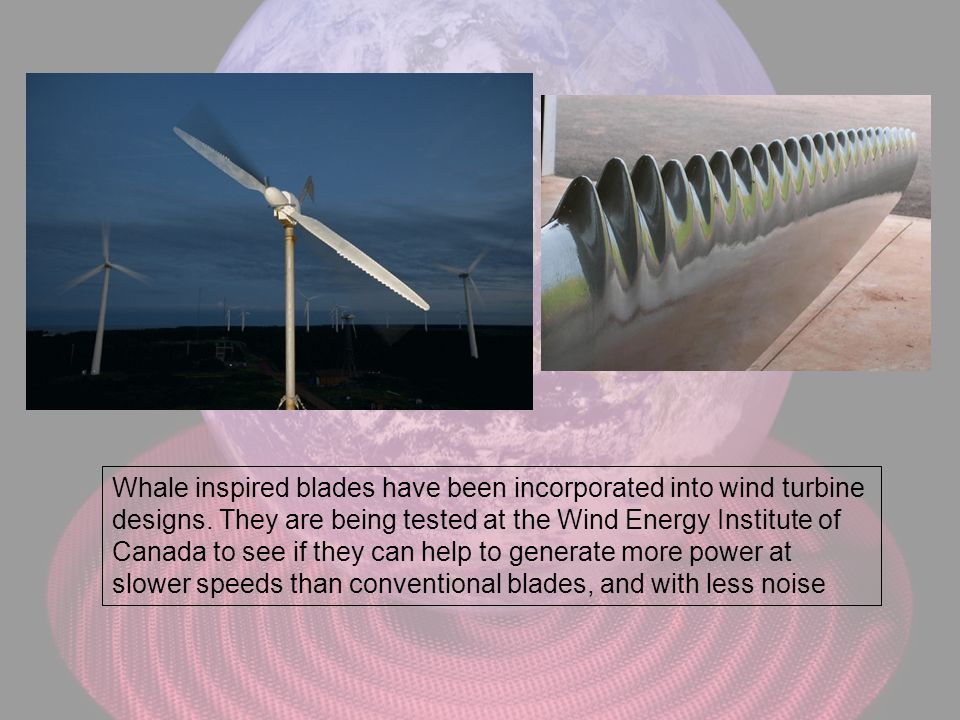 Whale inspired blades have been incorporated into wind turbine designs