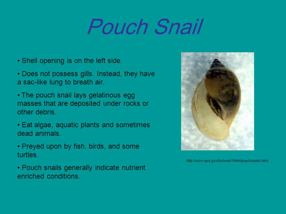 Pouch Snail Presented by: W...