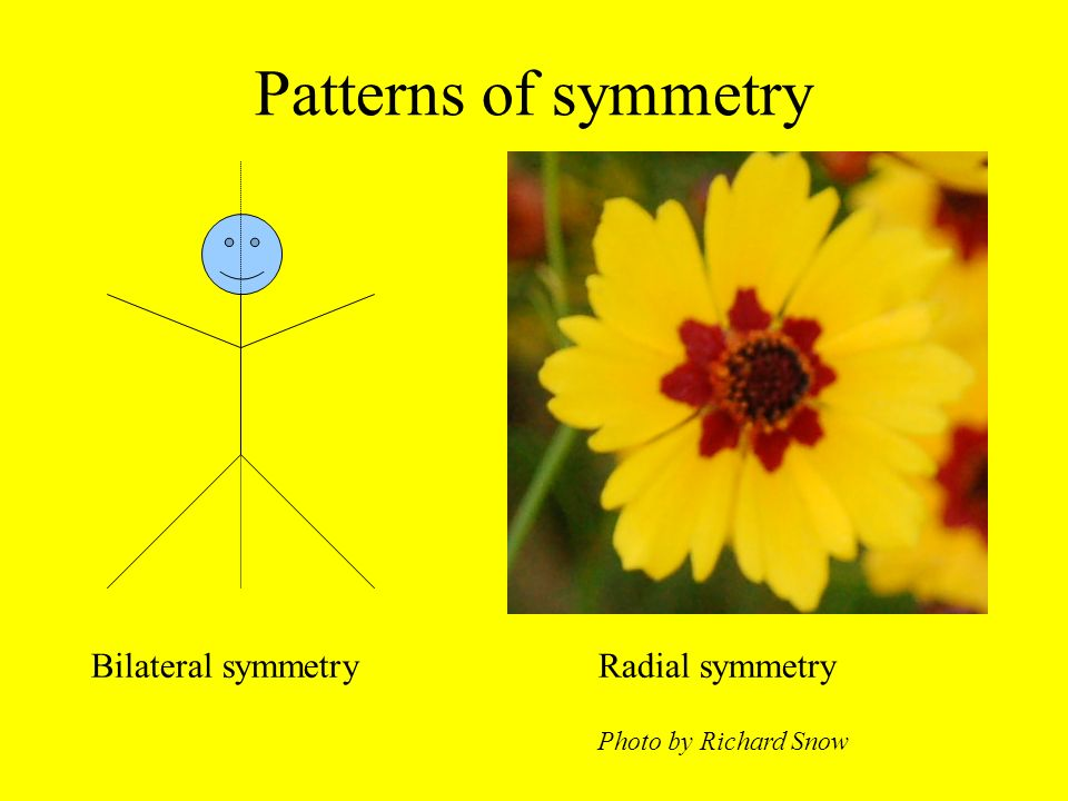 Patterns of symmetry Bilateral symmetry Radial symmetry