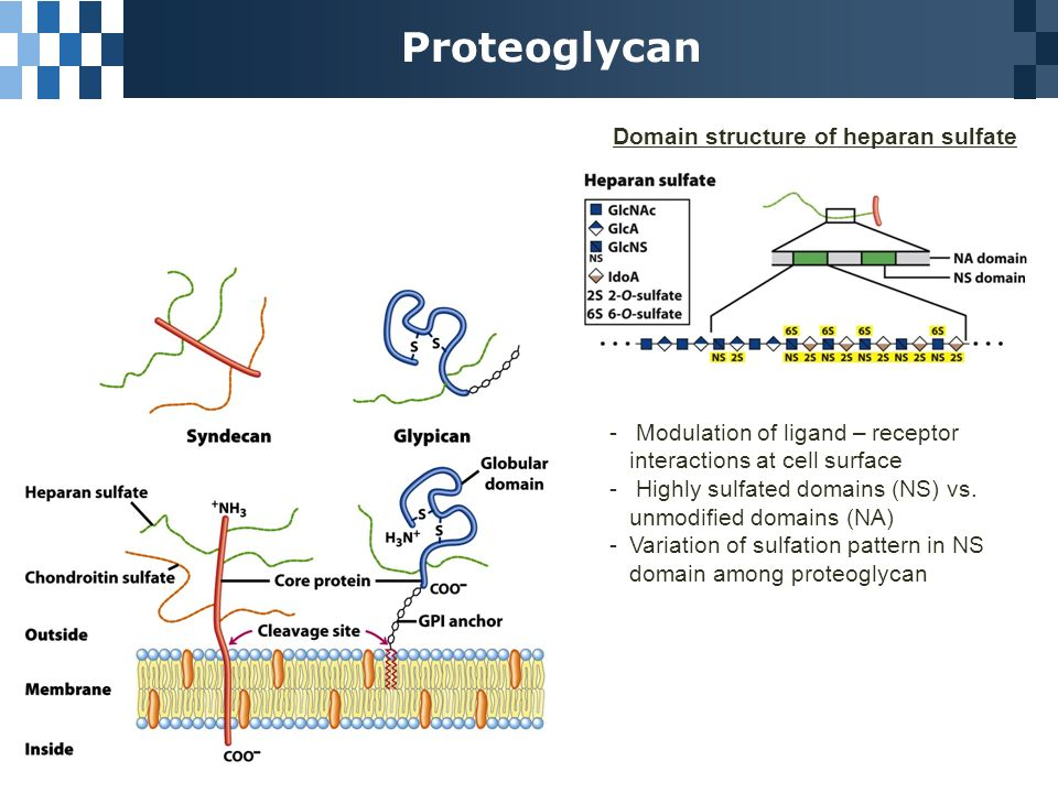 73 glycoconjugates proteoglycans glycoproteins and