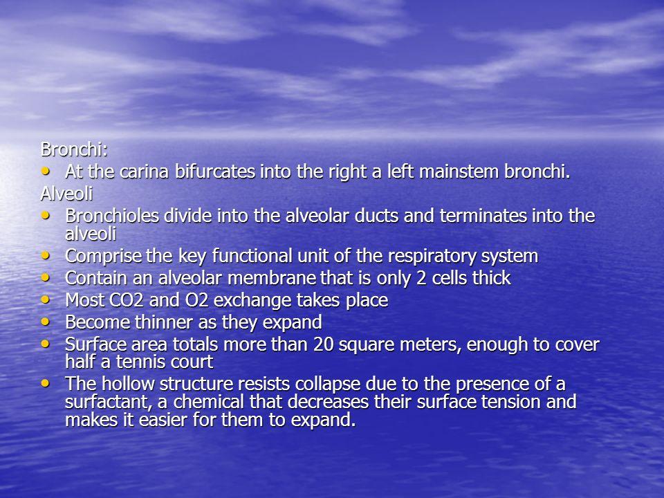 Bronchi: At the carina bifurcates into the right a left mainstem bronchi. Alveoli.