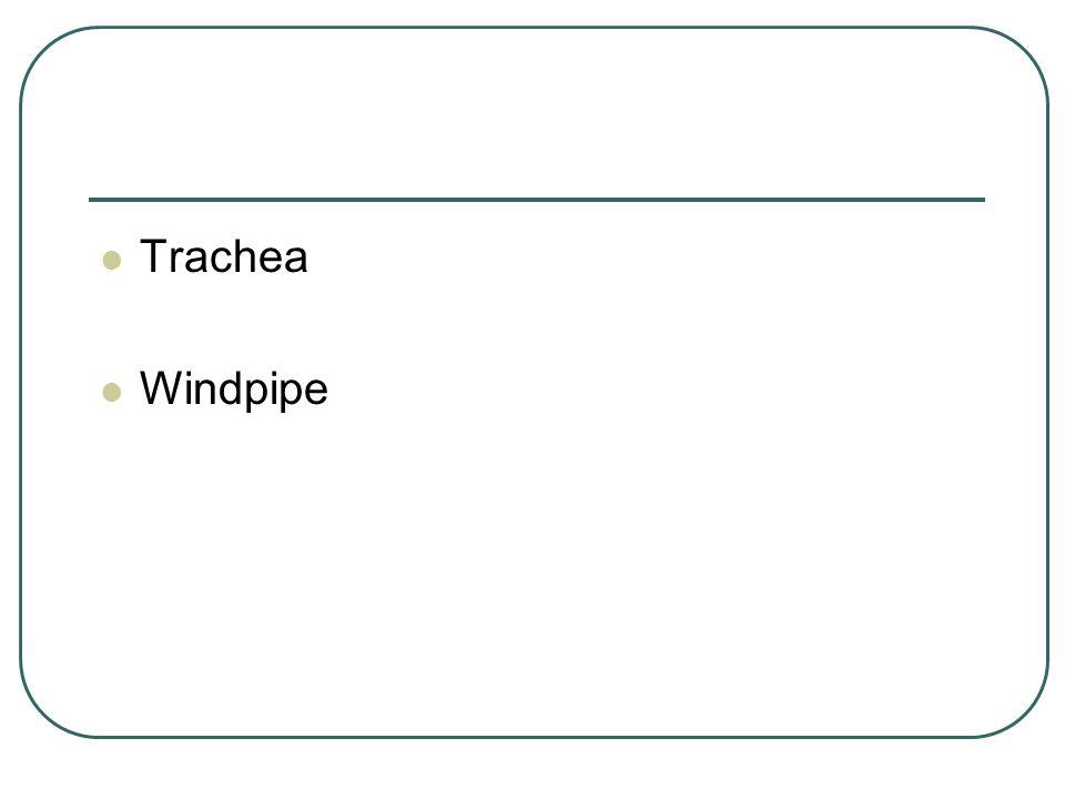 Trachea Windpipe Windpipe