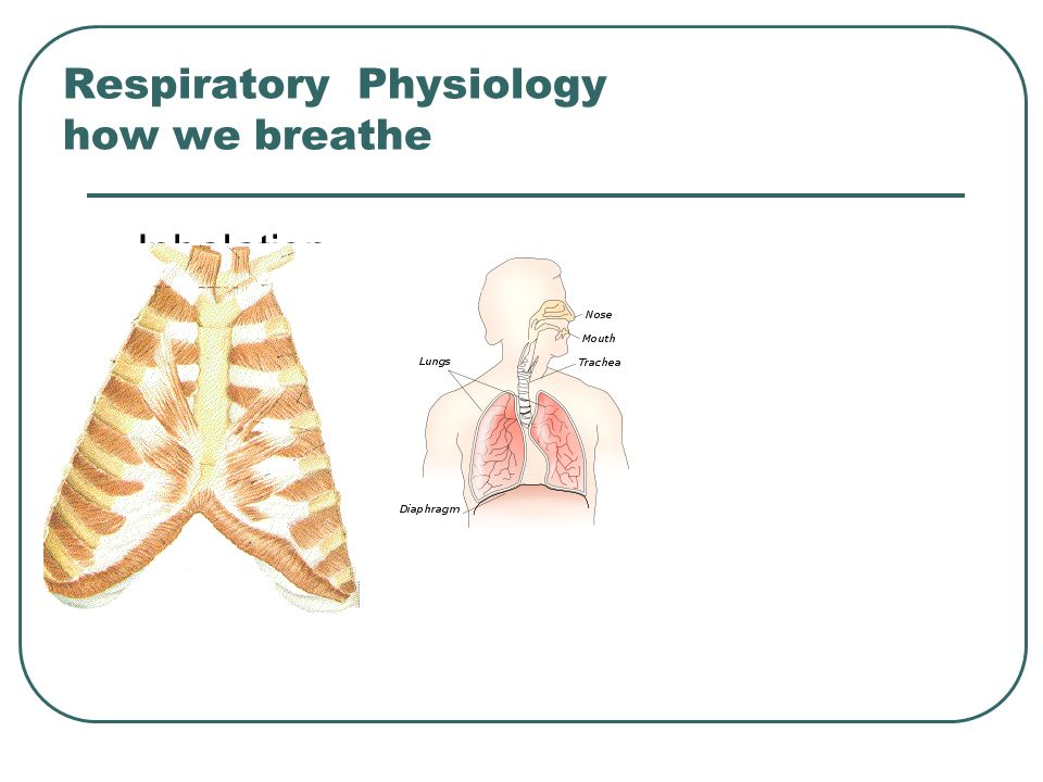 Respiratory Physiology how we breathe
