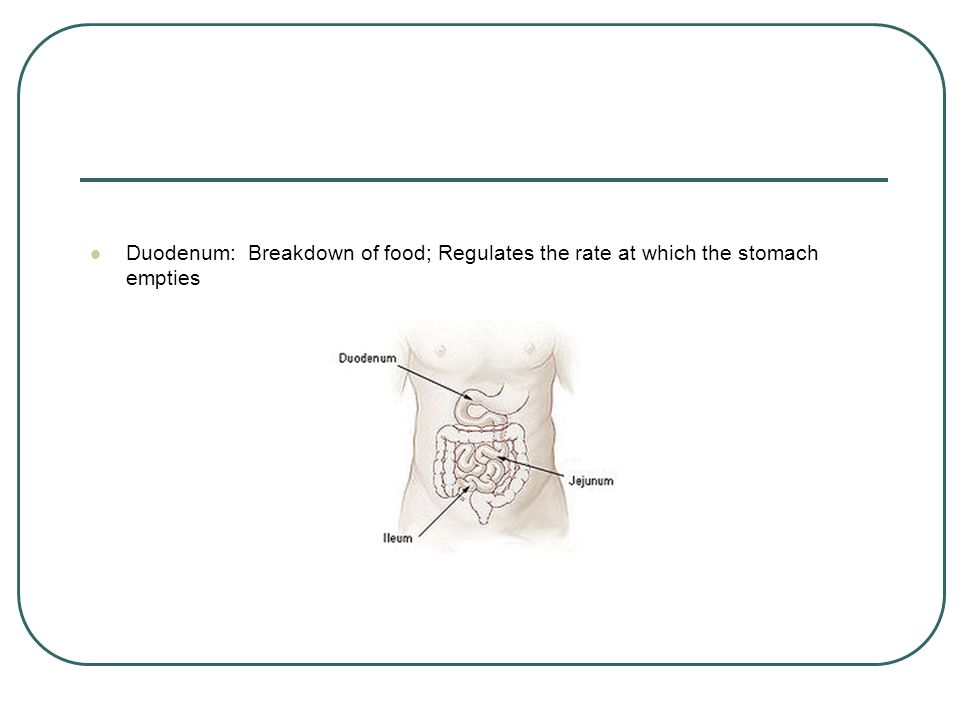 Duodenum: Breakdown of food; Regulates the rate at which the stomach empties
