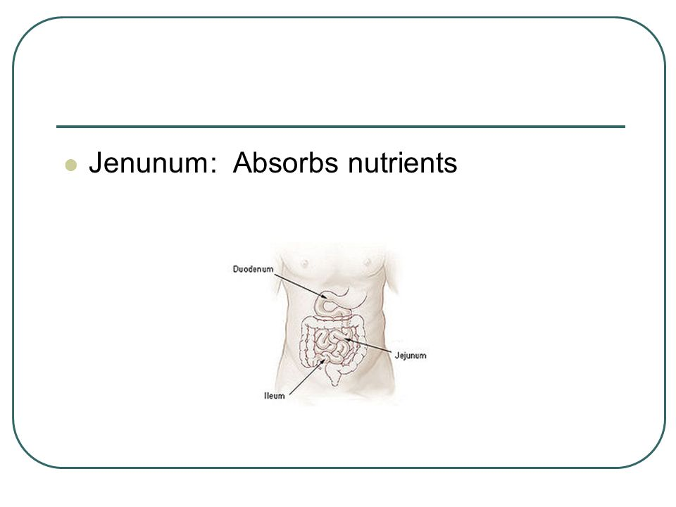 Jenunum: Absorbs nutrients