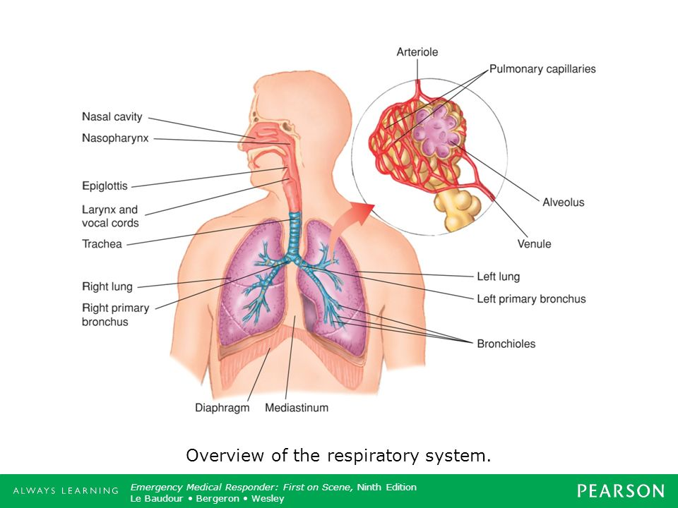 Overview of the respiratory system.