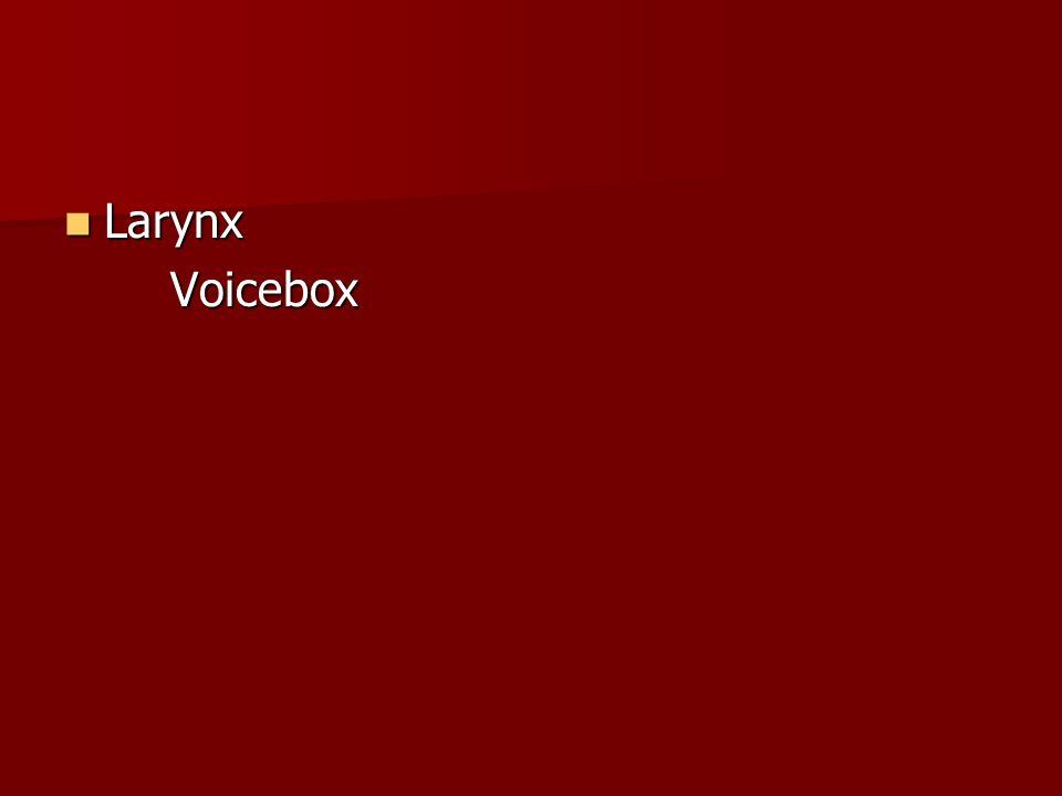 Larynx Voicebox