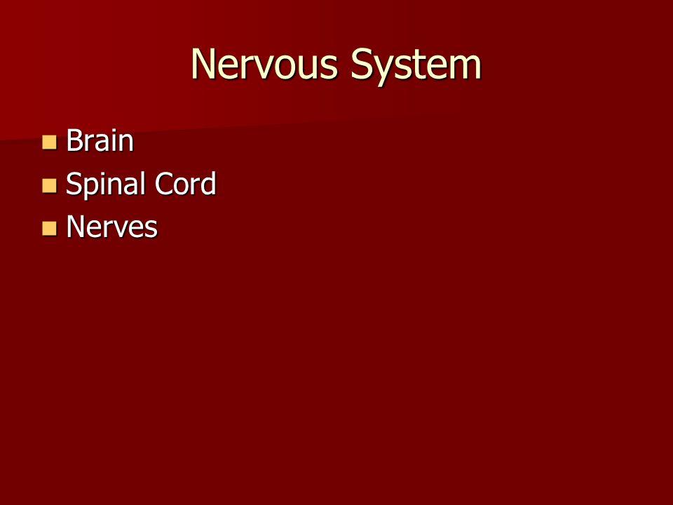 Nervous System Brain Spinal Cord Nerves