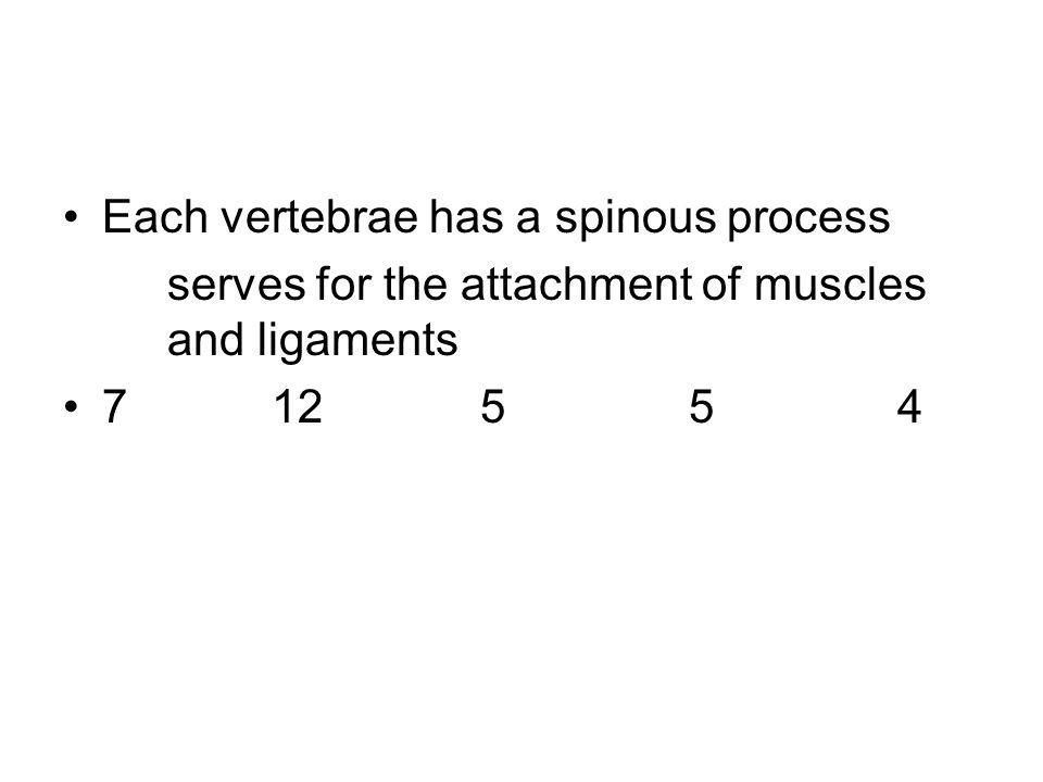 Each vertebrae has a spinous process