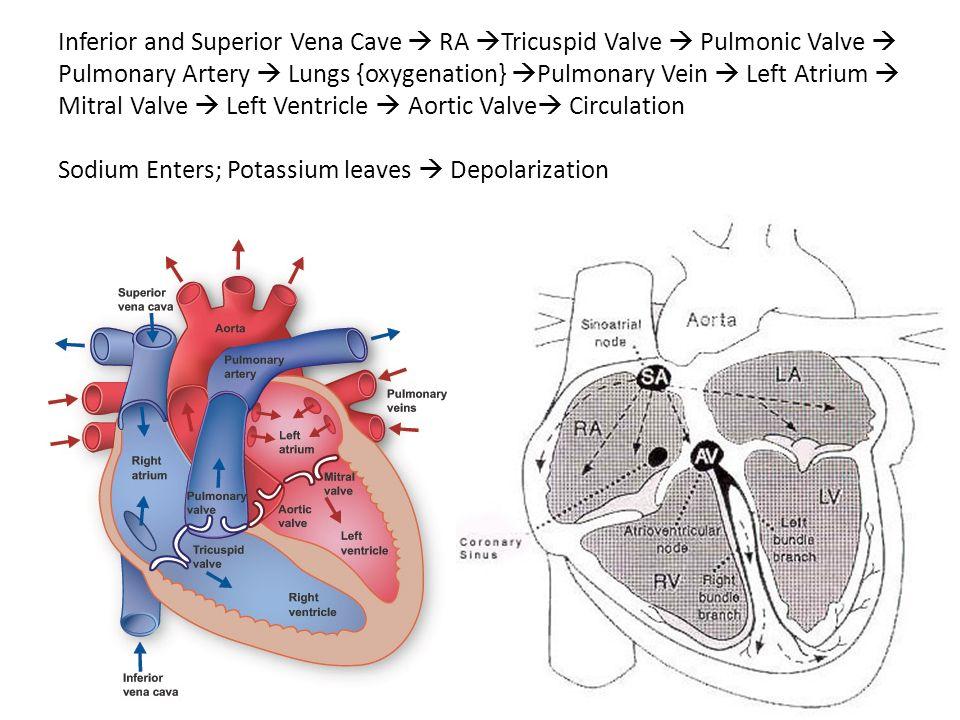 Inferior and Superior Vena Cave  RA Tricuspid Valve  Pulmonic Valve  Pulmonary Artery  Lungs {oxygenation} Pulmonary Vein  Left Atrium  Mitral Valve  Left Ventricle  Aortic Valve Circulation Sodium Enters; Potassium leaves  Depolarization