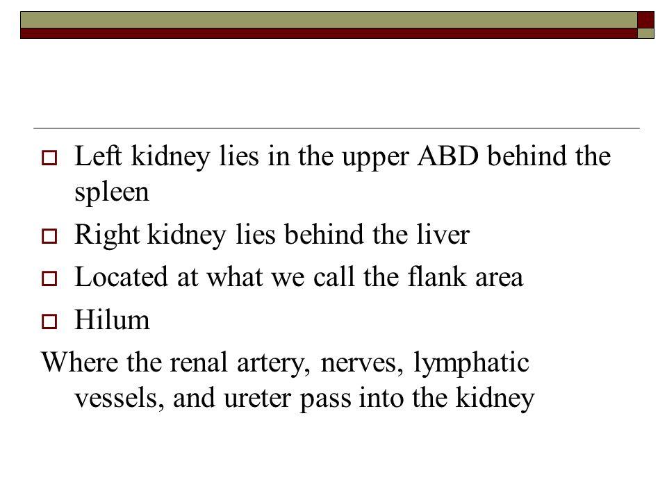 Left kidney lies in the upper ABD behind the spleen