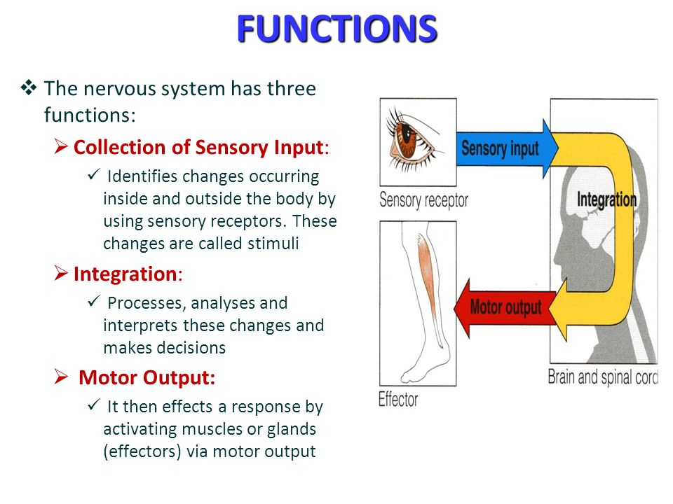 Nervous System Function Ecosia