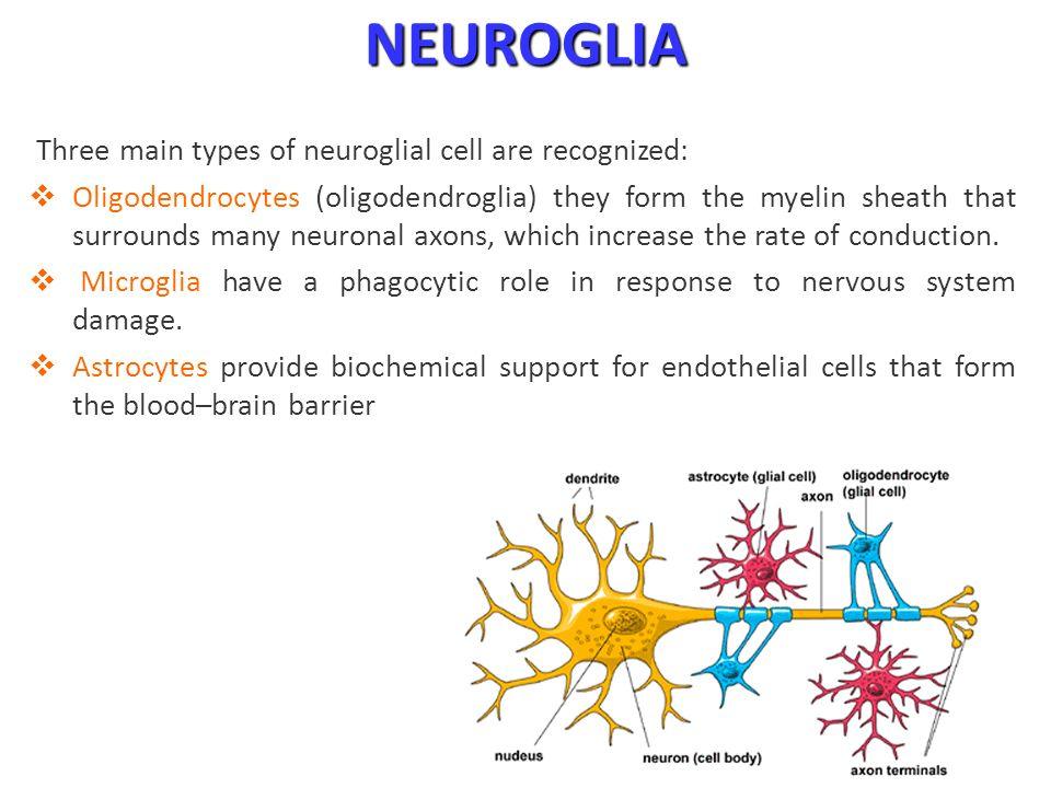 Nervous System Khaleel Alyahya, PhD, - ppt download