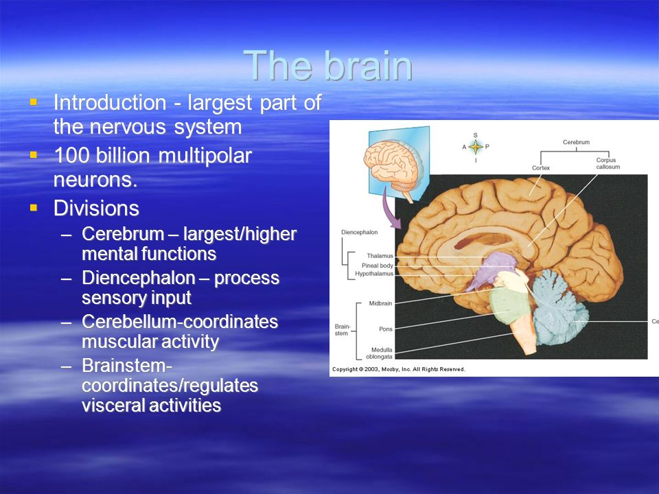 nervous system and higher mental processes Human physiology/the nervous system the limbic system and higher mental and ganglia of the peripheral nervous system their main role is to process and.